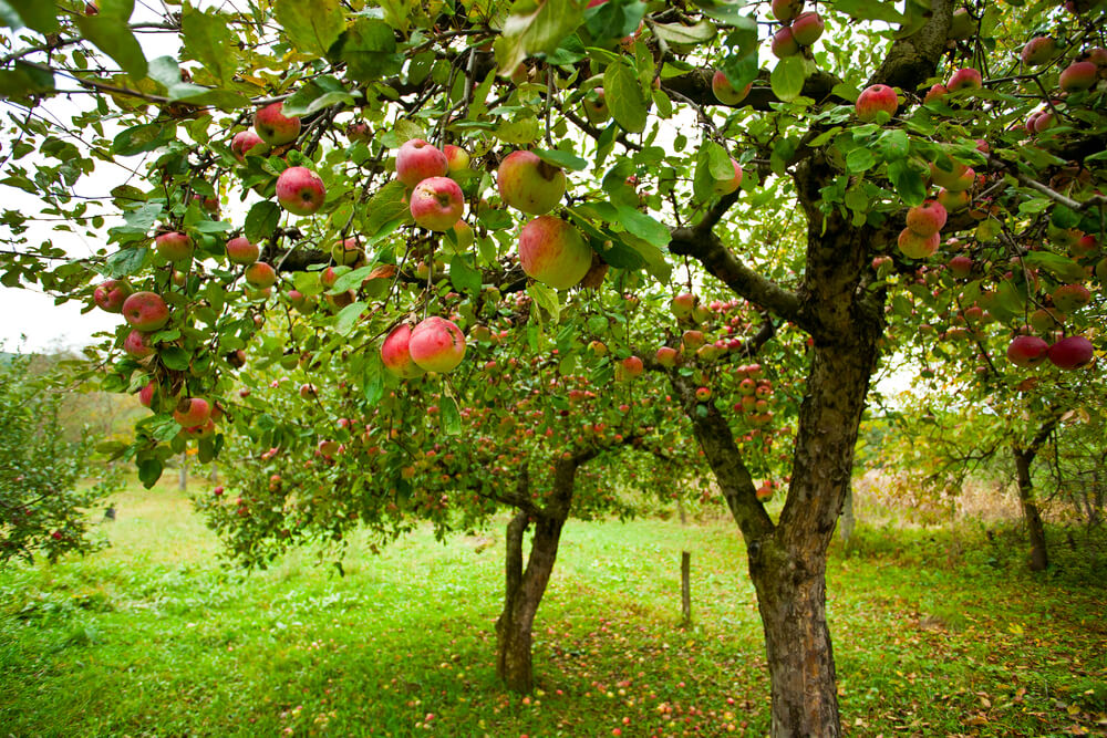 What You Must Know About Apple Trees